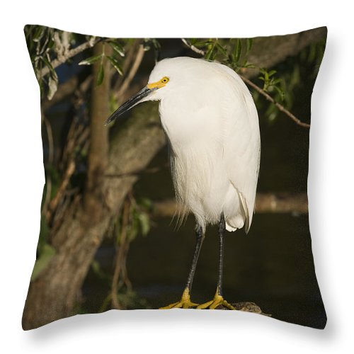 Snowy Egret Throw Pillow featuring the photograph The Lonely Snowy Egret by Chad Davis