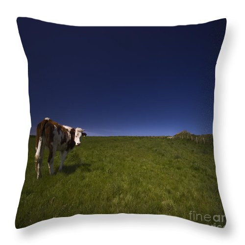Cow Throw Pillow featuring the photograph The Moody Cow by Angel Ciesniarska