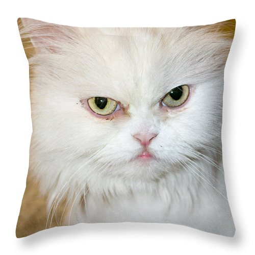 The White Persian Cat With Its Hair Cut French Lion Style Sitting On The  Carpet Throw Pillow