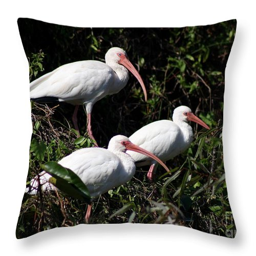 Ibis Throw Pillow featuring the photograph Three Buddies - White Ibis by Christiane Schulze Art And Photography
