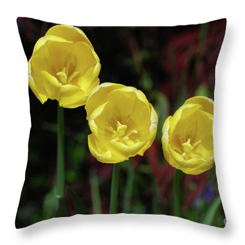 Tulip Throw Pillow featuring the photograph Three Pretty Blooming Yellow Tulips In A Garden by DejaVu Designs