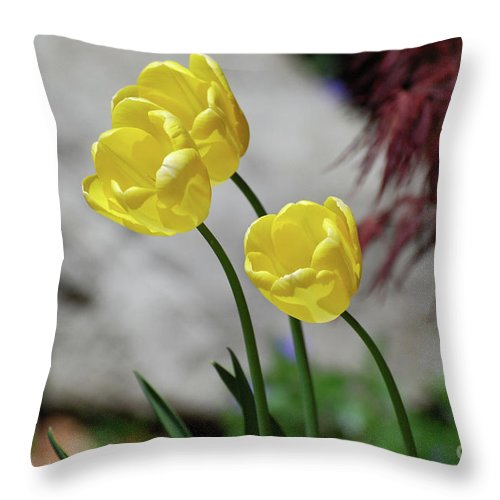 Tulip Throw Pillow featuring the photograph Three Yellow Garden Tulips Flowering In Spring by DejaVu Designs