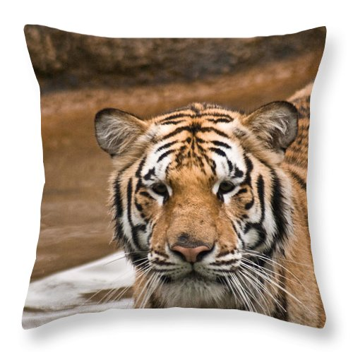 Tiger Throw Pillow featuring the photograph Tiger Wading Stream by Douglas Barnett