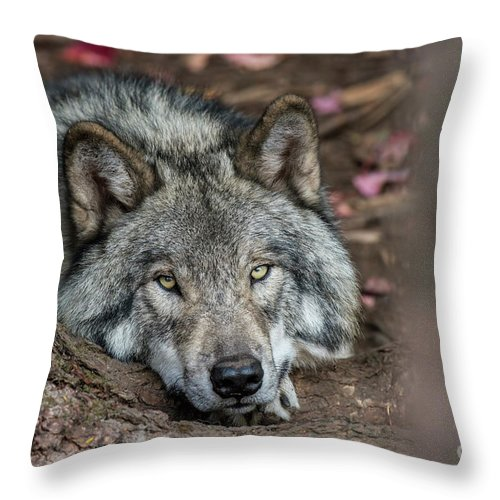 Timber Wolf Throw Pillow featuring the photograph Timber Wolf Picture - Tw286 by Wolves Only