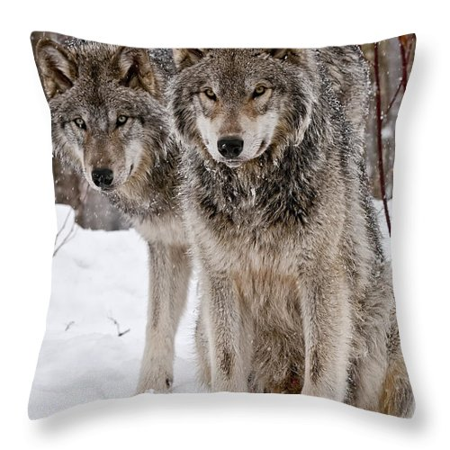 Michael Cummings Throw Pillow featuring the photograph Timber Wolves In Winter by Michael Cummings