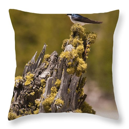 Bird Throw Pillow featuring the photograph Tree Swallow by Chad Davis