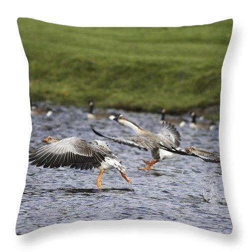 Geese Throw Pillow featuring the photograph Triple Lift Off by Deborah Benoit