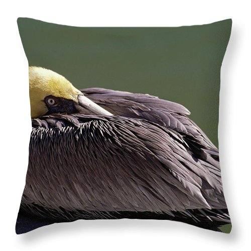 American Brown Pelican Throw Pillow featuring the photograph Tucked Up by Sally Weigand