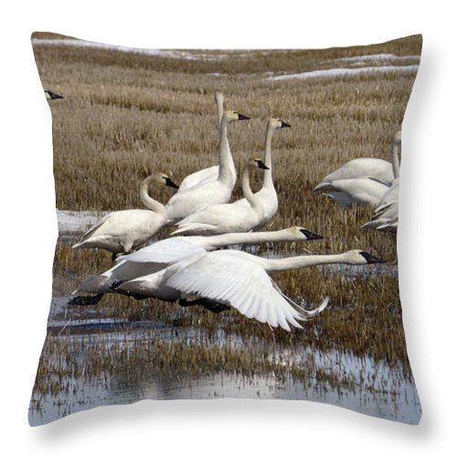Swan Throw Pillow featuring the photograph Tundra Swans Alberta Canada 3 by Bob Christopher