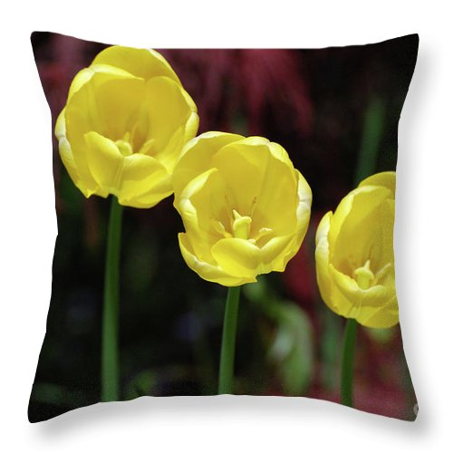 Tulip Throw Pillow featuring the photograph Very Blooming And Flowering Trio Of Yellow Tulips by DejaVu Designs