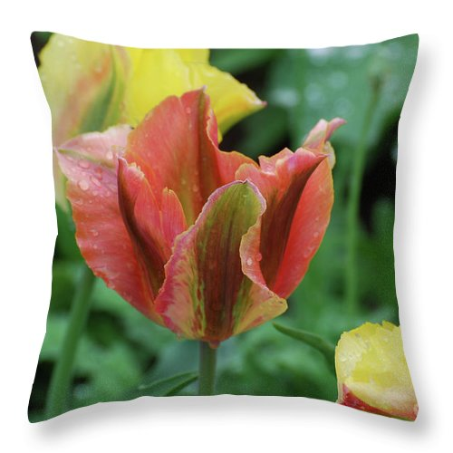 Tulip Throw Pillow featuring the photograph Very Pretty Flowering Pink And Green Striped Tulip by DejaVu Designs