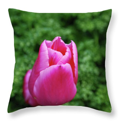 Tulip Throw Pillow featuring the photograph Very Pretty Garden With A Dark Pink Tulip by DejaVu Designs