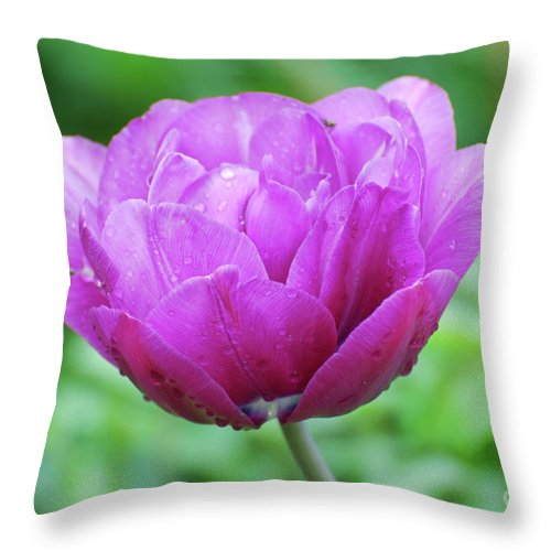 Tulip Throw Pillow featuring the photograph Very Pretty Lavender And Pink Tulip Blossom Flowering by DejaVu Designs