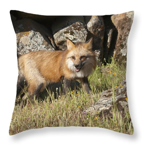 Red Fox Throw Pillow featuring the photograph Wary Red Fox by Sandra Bronstein