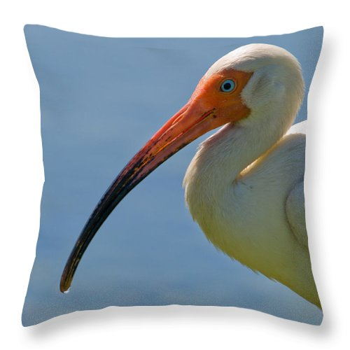 Ibis; White; Bird; Florida; Frog; Pollywogs; Pond; Seabird; Shore; Coast; Water; Fowl; Waterfowl; Fe Throw Pillow featuring the photograph White Ibis by Allan Hughes