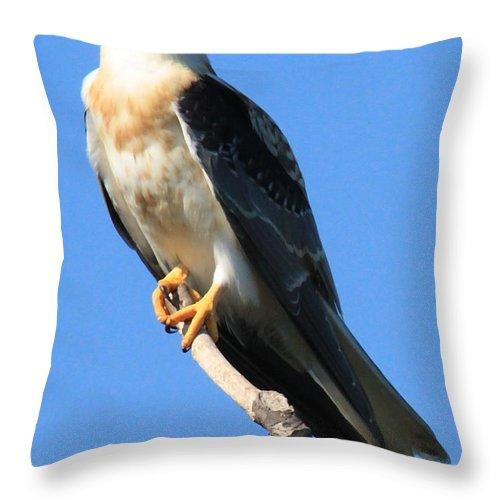 White Tailed Kite Prints Throw Pillow featuring the photograph White-tailed Kite by Paul Marto