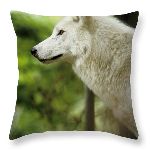 White Wolf Throw Pillow featuring the photograph White Wolf Stare by Steve Somerville