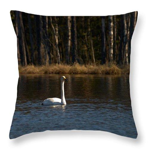 Lehtokukka Throw Pillow featuring the photograph Whooper Swan Of Liesilampi 3 by Jouko Lehto