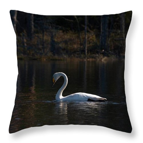 Lehtokukka Throw Pillow featuring the photograph Whooper Swan Of Liesilampi 5 by Jouko Lehto