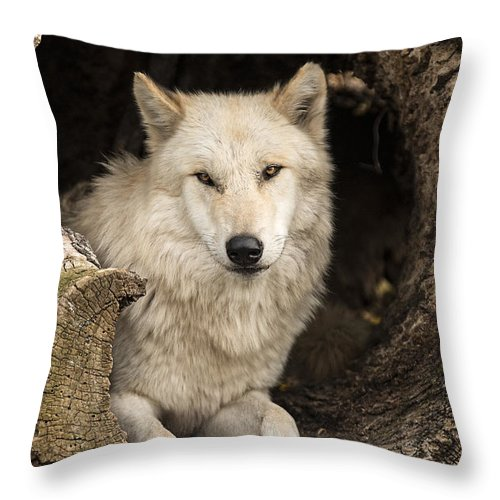 Grey Throw Pillow featuring the photograph Wolf In A Log by Pat Eisenberger