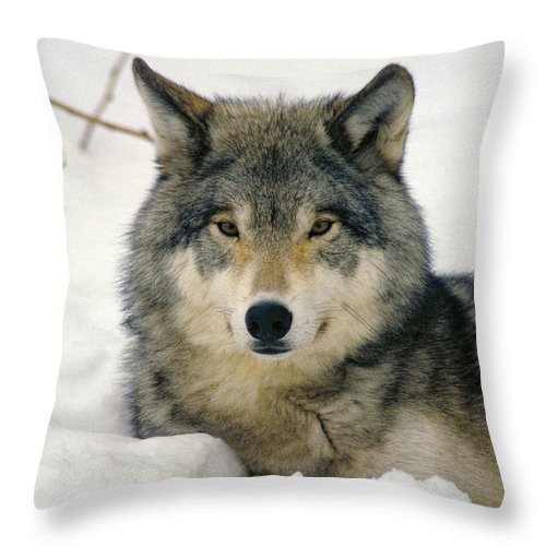 Wolf Throw Pillow featuring the photograph Wolf Rests In Snow by Steve Somerville