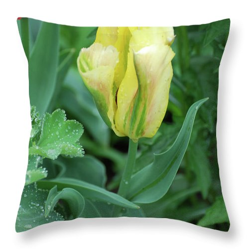 Tulip Throw Pillow featuring the photograph Yellow And Green Striped Tulip Flower Bud by DejaVu Designs
