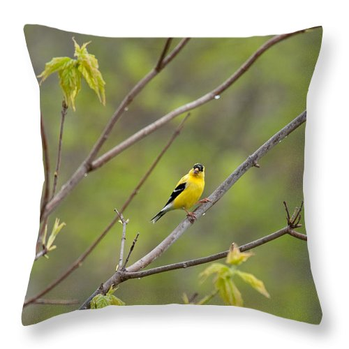 Bird Throw Pillow featuring the photograph Yellow Finch In Spring by David Arment