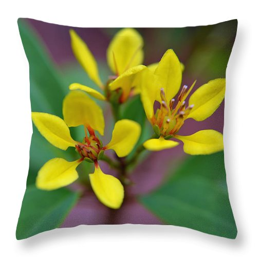 Yellow Thryallis Throw Pillow featuring the photograph Yellow Thryallis by Aimee L Maher ALM GALLERY