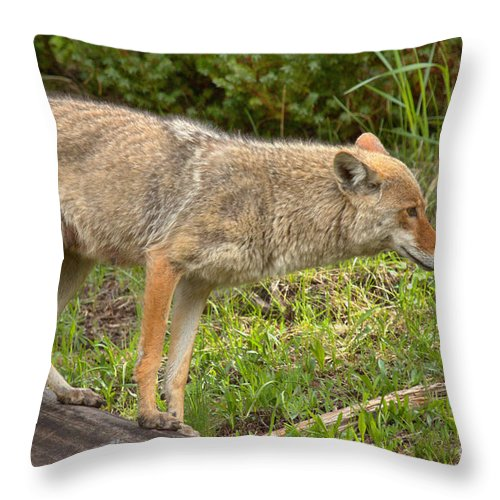 Yellowstone Coyote Throw Pillow featuring the photograph Yellowstone Coyote Scout by Adam Jewell