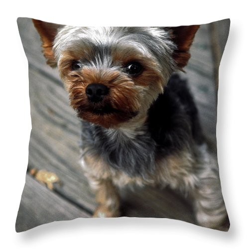 Yorkshire Terrier Puppy Throw Pillow featuring the photograph Yorkshire Terrier Puppy by Sally Weigand