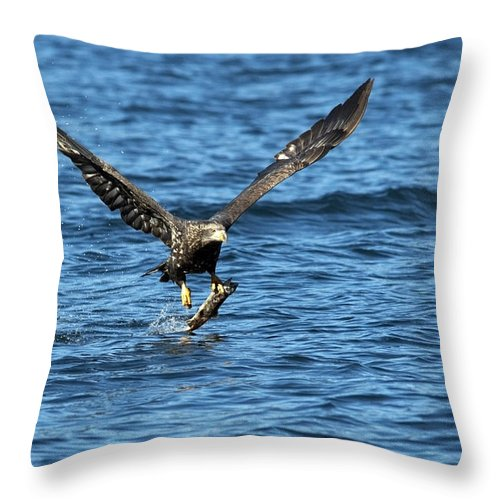 Bald Eagle Throw Pillow featuring the photograph Young Bald Eagle II by Randall Ingalls