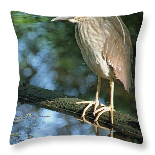 Black Crowned Night Heron Throw Pillow featuring the photograph Young Black Crowned Night Heron by Suzanne Gaff