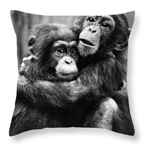 20th Century Throw Pillow featuring the photograph Young Chimpanzees by Granger