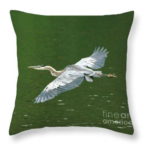 Landscape Nature Wildlife Bird Crane Heron Green Flight Ohio Water Throw Pillow featuring the photograph Young Great Blue Heron Taking Flight by Dawn Downour