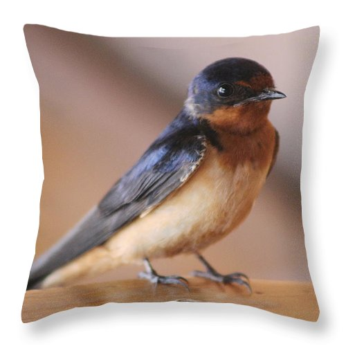 Swallow Throw Pillow featuring the photograph Young Swallow Sitting by Colleen Cornelius
