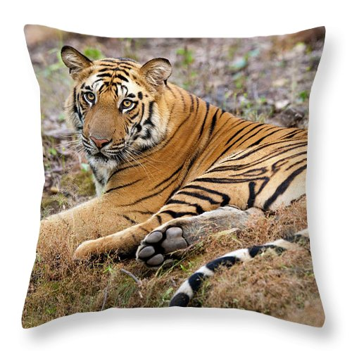 Looking Over Shoulder Throw Pillow featuring the photograph An Adult Tiger In Bandhavgarh National by Mint Images - Art Wolfe