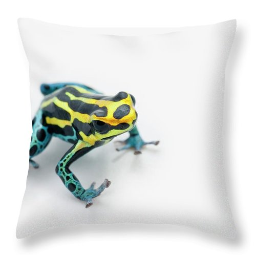 Risk Throw Pillow featuring the photograph Black, Yellow And Blue Poison Dart Frog by Design Pics / Corey Hochachka