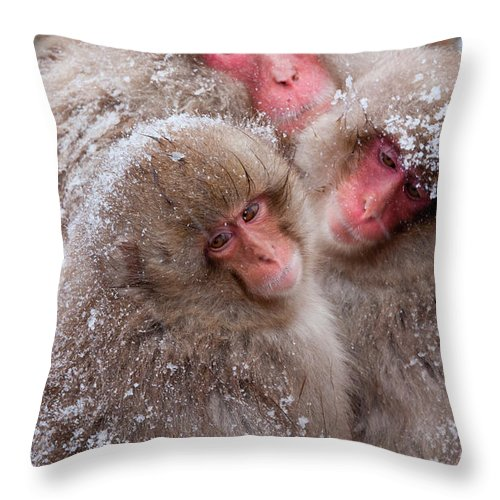 Vertebrate Throw Pillow featuring the photograph Japanese Macaques, Japanese Alps by Mint Images/ Art Wolfe
