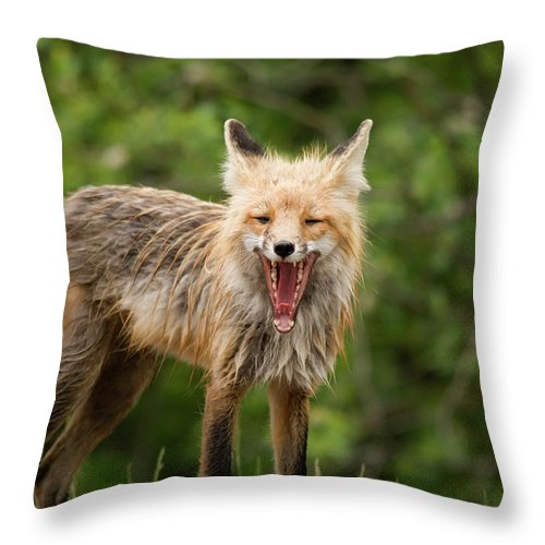 Snarling Throw Pillow featuring the photograph Red Fox Vulpes Vulpes In Prince Albert by Philippe Widling / Design Pics