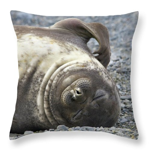 South Georgia Island Throw Pillow featuring the photograph Southern Elephant Seal Weaner Pup by Eastcott Momatiuk