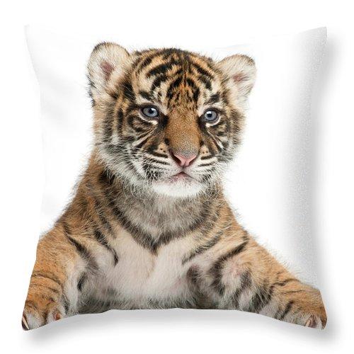 White Background Throw Pillow featuring the photograph Sumatran Tiger Cub - Panthera Tigris by Life On White