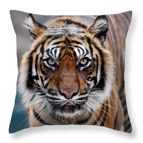 Snow Throw Pillow featuring the photograph Tiger by Freder