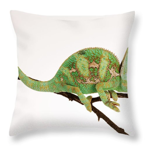White Background Throw Pillow featuring the photograph Yemen Chameleon Sitting On Branch by Martin Harvey