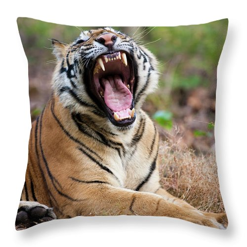 Snarling Throw Pillow featuring the photograph An Adult Tiger In Bandhavgarh National by Mint Images - Art Wolfe