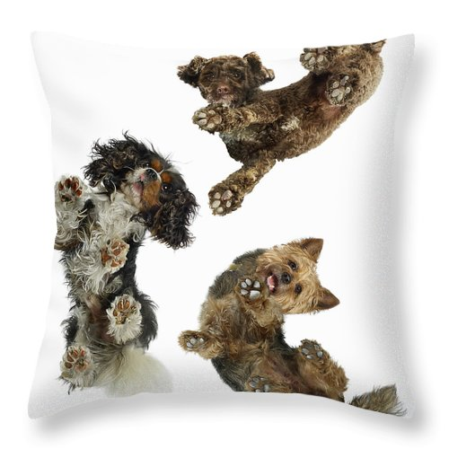 White Background Throw Pillow featuring the photograph 3 Dogs Looking Down by Gandee Vasan