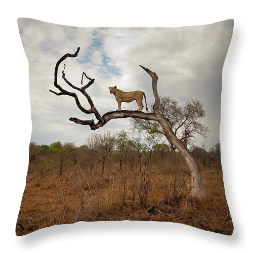 Scenics Throw Pillow featuring the photograph A Female Lion Standing On Bare Branch by Sean Russell