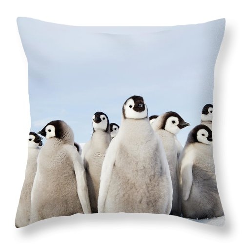 Emperor Penguin Throw Pillow featuring the photograph A Nursery Group Of Emperor Penguin by Mint Images - David Schultz