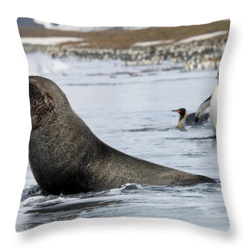 Water's Edge Throw Pillow featuring the photograph An Antarctic Fur Seal, Arctocephalus by Mint Images - David Schultz