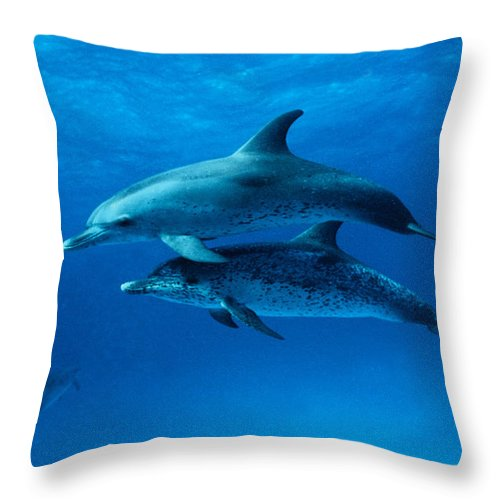 Color Image Throw Pillow featuring the photograph Atlantic Spotted Dolphins,stenella by Gerard Soury