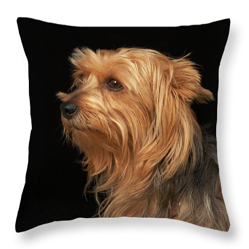 Pets Throw Pillow featuring the photograph Black And Brown Yorkie Left Profile On by M Photo